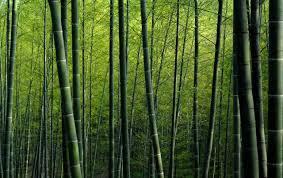 Matéria prima da flauta de bambu